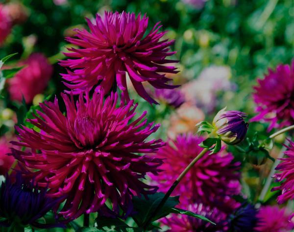 renoir, Natural flower